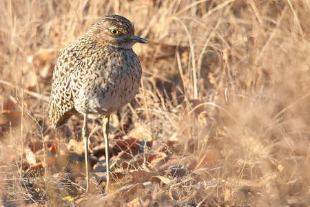 spotted: Spotted Thick Knee Bird