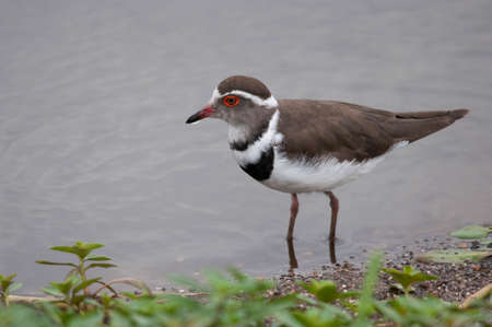 plover: Three Banded Plover in water