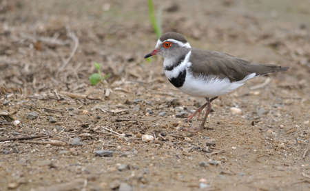plover: Three Banded Plover