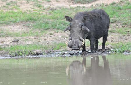 waterhole: Big Warthog at waterhole Stock Photo