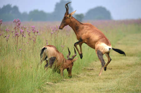 fighting bulls: Red Hartebeest bulls fighting