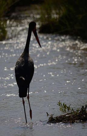Saddle Billed Stork standing in river Stock Photo