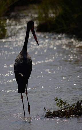 african stork: Saddle Billed Stork standing in river Stock Photo