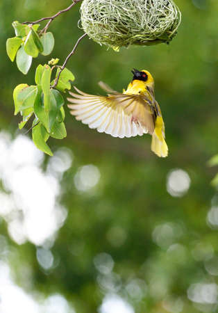 Southern Masked Weaver flying to its nest