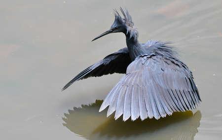 Black Heron fishing