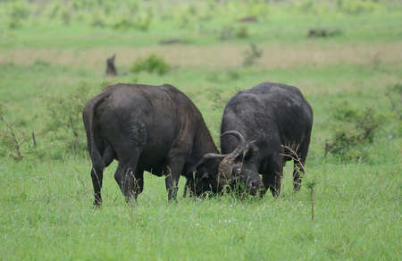 fighting bulls: Buffalo Bulls fighting in Kruger National Park