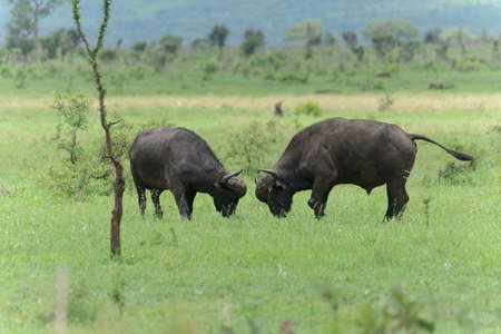 fighting bulls: Buffalo Bulls fighting on the open plains Stock Photo