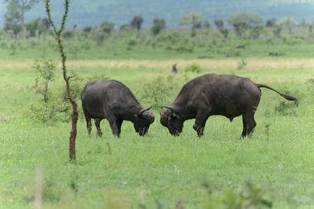 Buffalo Bulls fighting on the open plains Stock Photo