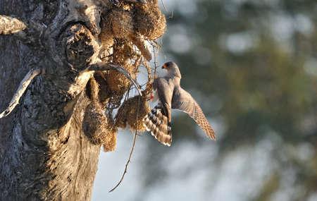 goshawk: Gabbar Goshawk raiding nests Stock Photo