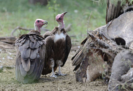 Lappet Faced Vultures Stock Photo