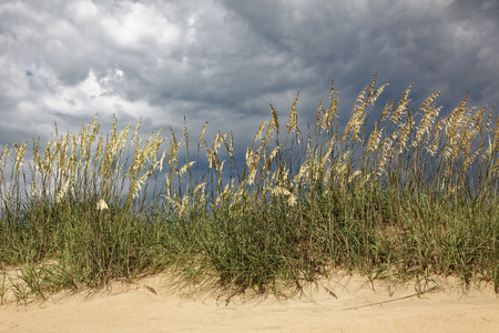Back lit sea oats on beach sand dune under gray threatening sky