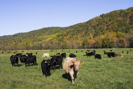 Curious cows in pasture with hills and blue sky.
