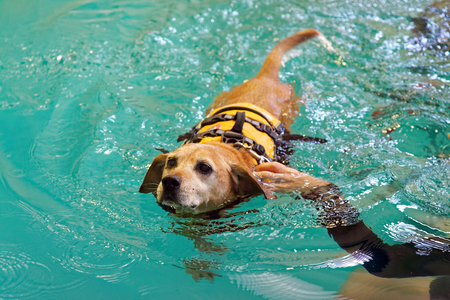Unhappy dog receiving swimming lesson.