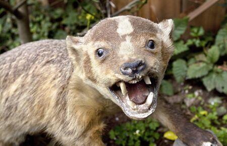 wolverine: Ferocious-looking stuffed wolverine.