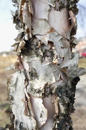 강 자작 나무 트리 컬링 껍질 세부입니다. 수직선.