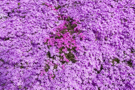 Sea of vivid  pink spring phlox.
