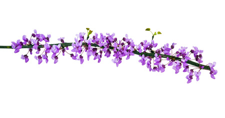 Redbud tree branch with spring blossoms. Isolated. Stock Photo