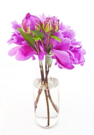 Isolated spring azalea blossoms in vase.