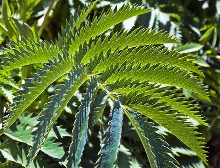 Sawtooth plant.