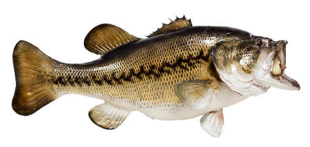 Beautifully taxidermied largemouth bass. Isolated. Banque d'images
