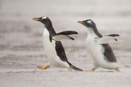 chasing: One young gentoo penguin running after the parent and asking for food
