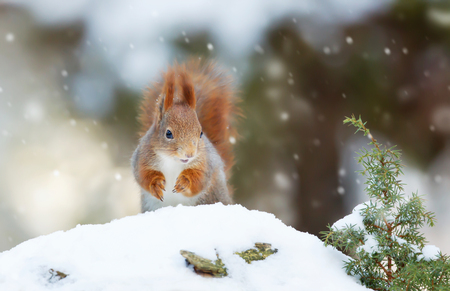 Red squirrel in the falling snow Stock Photo