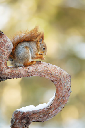Red Squirrel sitting on a tree branch against colorful background in the forests of Norway.