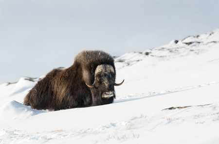 Male musk ox resting in the mountains of Dovrefjell in tough winter conditions in Norway