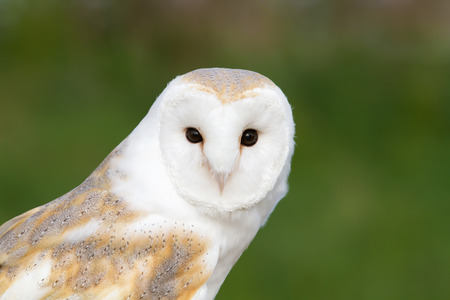 Close up of a barn owl against green background