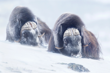 Two large adult male musk oxen in the mountains during tough cold winter conditions in Norway. Stock Photo