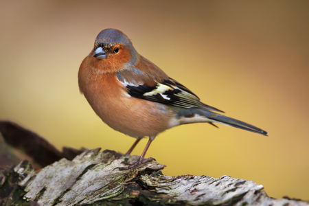 Close-up of a male Common Chaffinch (Fringilla coelebs) perching on a tree trunkbranch, Scotland, UK