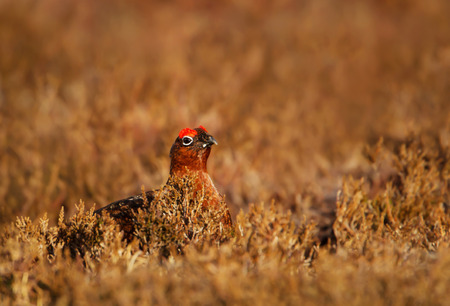 Male Red Grouse Lagopus lagopus scotica in the mountains of Scotland Stock Photo