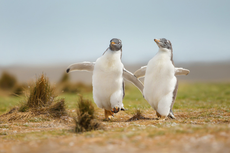 Two young gentoo penguins chasing each other, Falkland islands Stock Photo