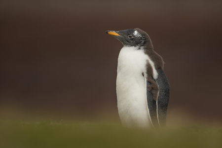 Young molting gentoo penguin standing alone in the field of grass, Falkland islands Stock Photo