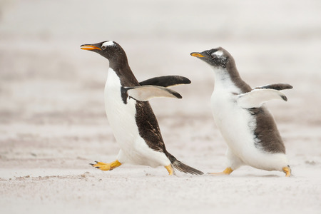 One young gentoo penguin running after the parent and asking for food