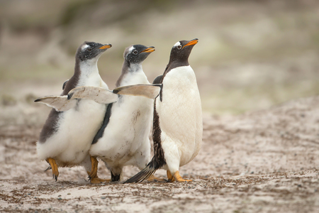 Two gentoo chicks chasing after the parent to be fed in the Falkland islands