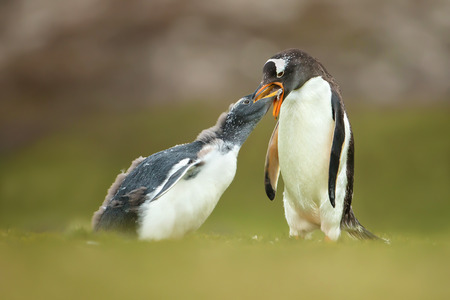 Isolated Adult gentoo penguin feeding a young molting chick in the Falkland islands Stock Photo