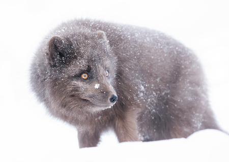 Blue Morph Arctic fox standing in the falling snow; winter in Iceland.
