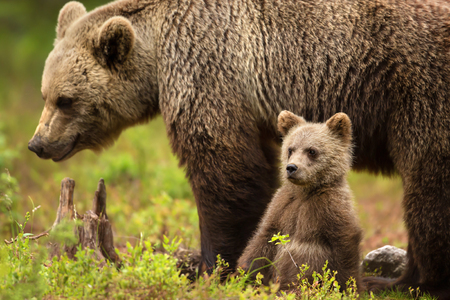 Cute little Eurasian brown bear cub sitting by the mother for safety and comfort, Finland