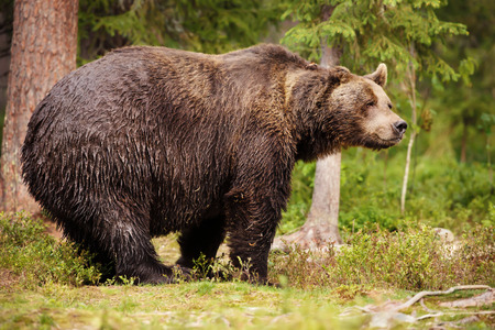 Huge Eurasian brown bear standing in the Finnish taiga forest in summer Stock Photo