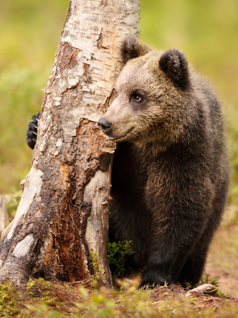 Cute little Eurasian brown bear hiding from male bears behind a tree in the forest in summer Stock Photo