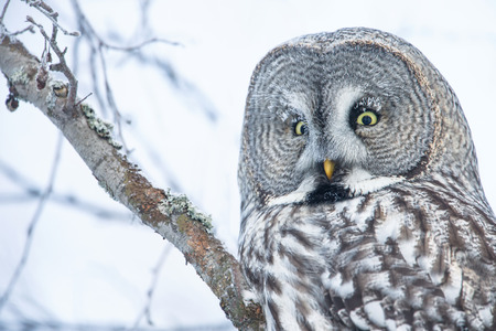 Close-up of a perching great grey owl in Finland, winter Stockfoto