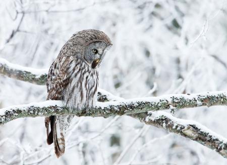 Close-up van een neerstrijkende grote grijze uil in Finland, de winter