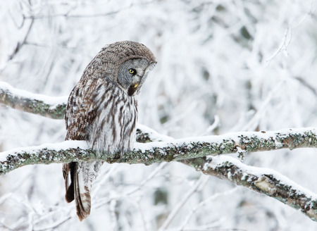 Close-up of a perching great grey owl in Finland, winter Foto de archivo