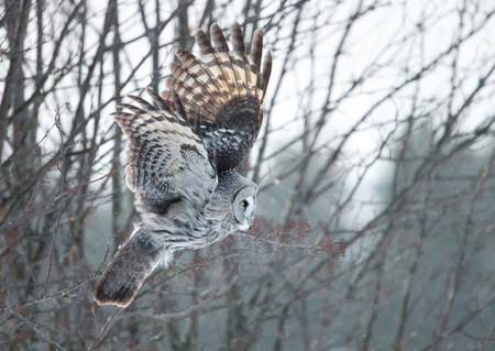 Great grey owl swooping with the trees at the background during winter in Finland
