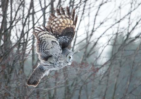 Grote grijze uil die met de bomen bij de achtergrond tijdens de winter in Finland stoten