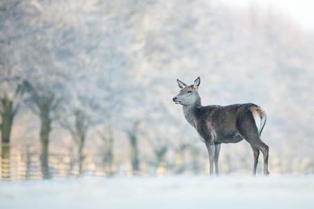 Red deer hind standing a field of frosted grass on a beautiful early winter morning. Winter landscape. Stock Photo