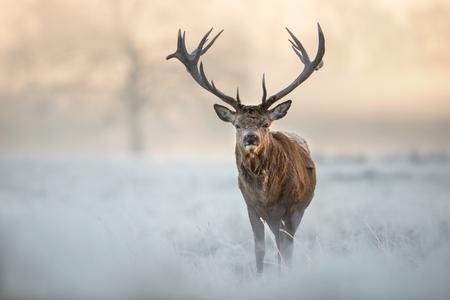 Rotwildhirsch, der auf einem Gebiet des bereiften Grases an einem schönen frühen Wintermorgen steht. Tiere im Winter. Standard-Bild