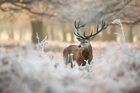 Rotwildhirsch, der auf einem Gebiet des bereiften Grases an einem schönen frühen Wintermorgen steht. Tiere im Winter.