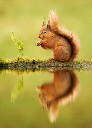 Reflection of a red squirrel, Sciurus vulgaris, UK